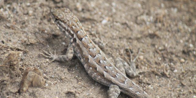 Anza Borrego Lizard