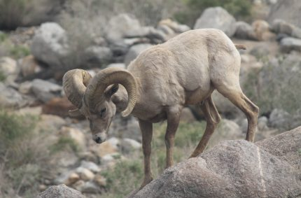 Bighorn Sheep in the Anza Borrego Desert